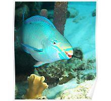 Parrotfish Smiling Poster