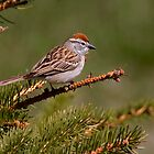 Chipping Sparrow by Jeff Weymier