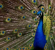 Peacock Posing by Jeff Weymier