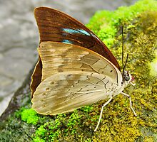 Banded King Shoemaker Butterfly closed wings (Archaeoprepona demophoon) by Johan  Nijenhuis