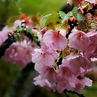 Cherry Blossoms in the rain, Japan by Margaret Goodwin