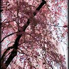 Cherry Blossom Trees, Japan by Margaret Goodwin