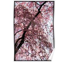 Cherry Blossom Trees, Japan Poster