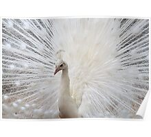 White Peacock  Poster