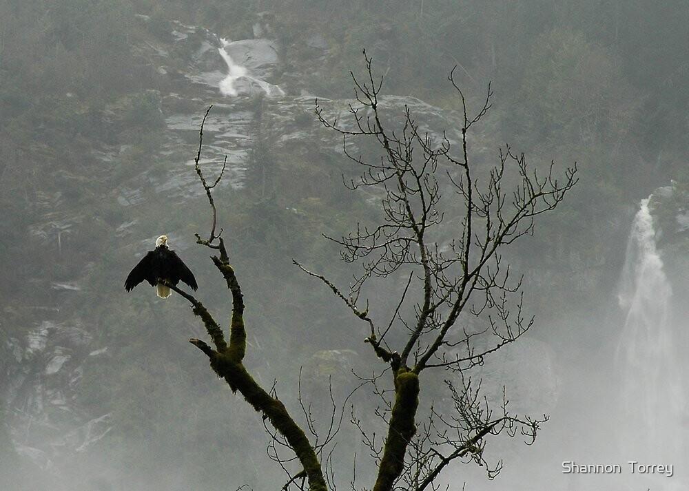 Skagit bald eagle by Shannon  Torrey