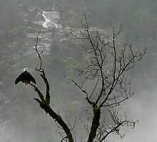 Skagit bald eagle by Shannon  Torrey