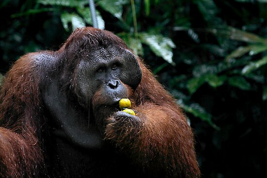 """George"" Large male Orangutan, Borneo  by Carole-Anne"