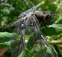 Dragonfly 1 by Shannon  Torrey