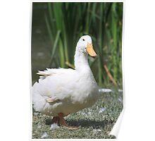 Pekin Duck Poster