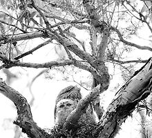 Tawney Frogmouth & Chicks by pcbermagui