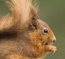 Red Squirrel Portrait by Nigel Tinlin