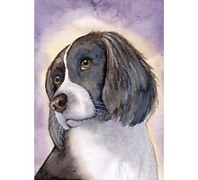 Springer Spaniel - puzzled... Photographic Print