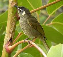 Lewin's Honeyeater, Meliphaga lewinii by Trish Meyer