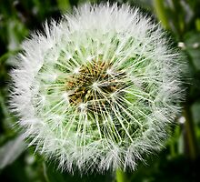 Taraxacum Officinale by Chris Cardwell