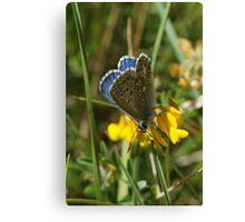Male Common Blue Canvas Print