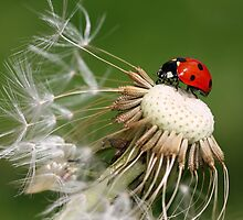 Ladybird on dandelion by Pics4merch