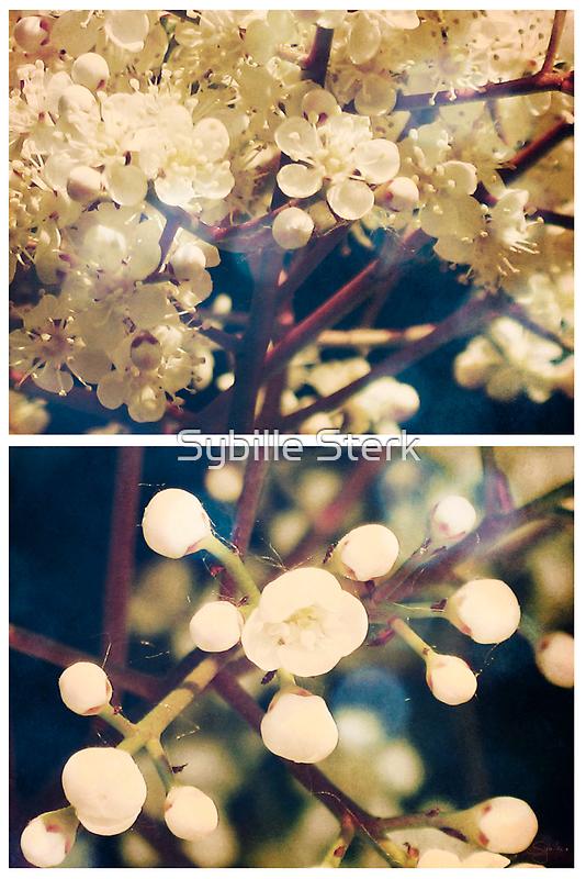 Spring - Viburnum Grandiflora by Sybille Sterk