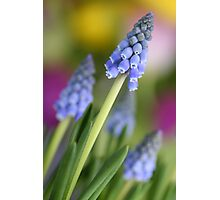 Grape hyacinth flowers (Muscari botryoides)  Photographic Print