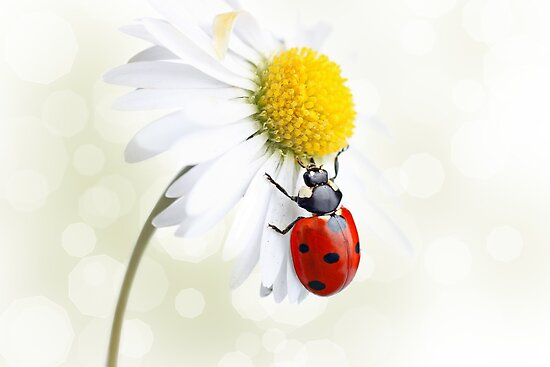 Ladybird on daisy flower by Pics4merch