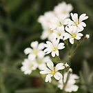 delicate white by MichelleRees