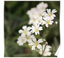 delicate white Poster