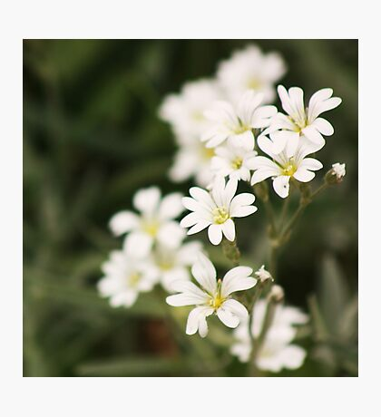 delicate white Photographic Print