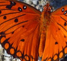 An unusually bright colored gulf fritillary butterfly Sticker