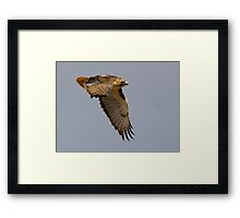 120609 Red Tailed Hawk Framed Print