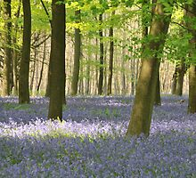 This year's Bluebells by Catherine Ames