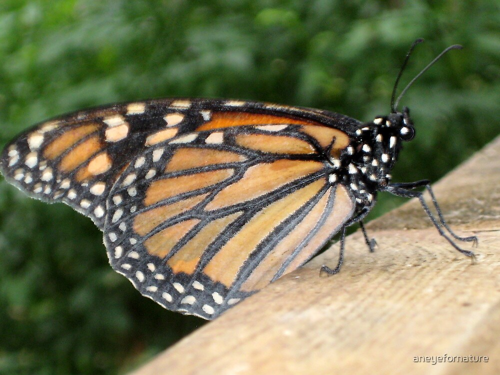 Closed Wings & Resting - Monarch Butterfly by aneyefornature