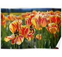 Tulips Dancing in the Tulip Field Poster