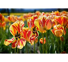 Tulips Dancing in the Tulip Field Photographic Print