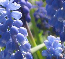 Fresh & Peaceful - Grape Hyacinth by aneyefornature