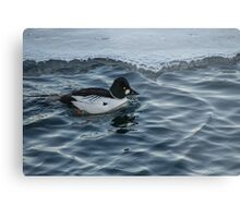 Male Golden Eye Duck in Icy Water at Harbourfront Metal Print