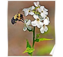 Bumble Bee on a Hydrangea Poster