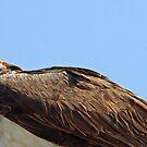 Mamma osprey up close by jozi1