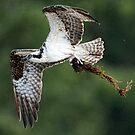 The Osprey Returns by David Friederich
