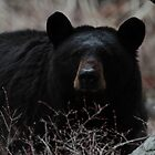 Bear Stare #2 by Ken McElroy