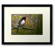 Rose Breasted Grosbeak Framed Print
