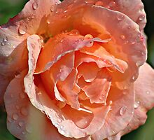 Wet Rose by Graham Taylor