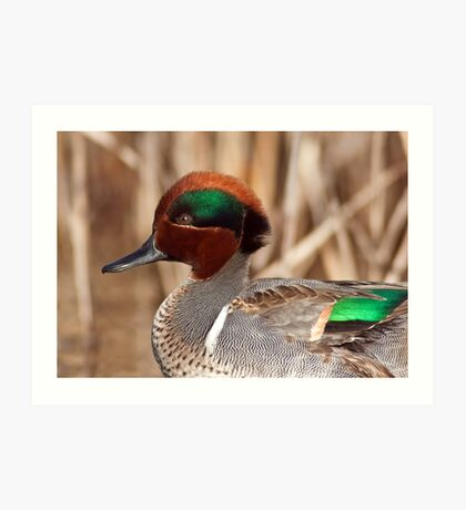 Green Winged Teal Close-up Art Print