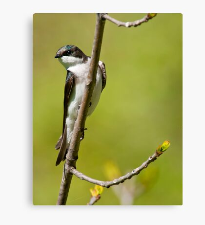 Young Tree Swallow Canvas Print