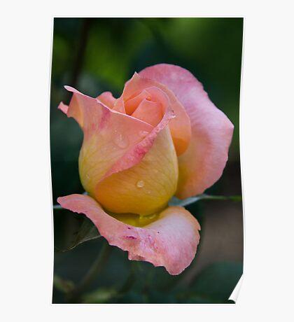 Joyfulness Rose Benalla gardens 20110322 0707 Poster
