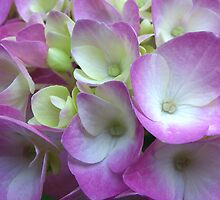 Nose to Nose with Hydrangea by Kate Eller