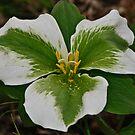 White Trillium  with Mycoplasma  - Melanthiaceae by jules572