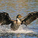 Cormorant landing 2 by jozi1