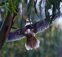 Crop from distance of Kookaburra leaving by Ron Co