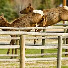 Elk Jumping by lincolngraham