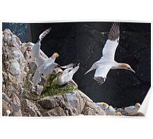 got you! Gannets, Saltee Island, County Wexford, Ireland Poster