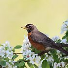 American Robin by Rob Lavoie